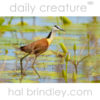 African Jacana (Actophilornis africana) Kruger National Park, South Africa.