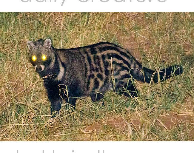 African Civet (Civettictis civetta) Kruger National Park, South Africa