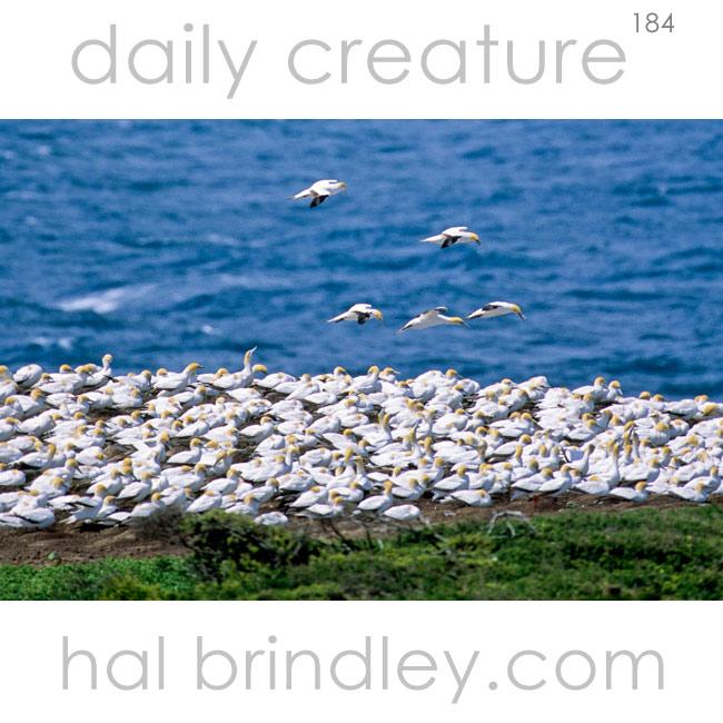 Australasian Gannet breeding colony. (Morus serrator) Point Danger, Victoria, Australia