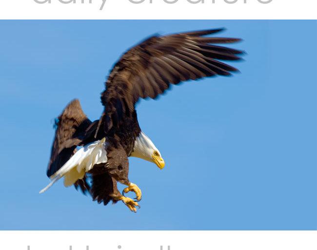 Bald Eagle (Haliaeetus leucocephalus) McNeil River State Game Sanctuary, Alaska, USA.