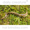 Banana Slug (Ariolimax columbianus) on moss. Pacific Rim National Park Reserve. Tofino, Vancouver Island, British Columbia, Canada.