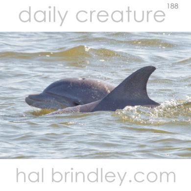 Common (Atlantic) Bottlenose Dolphin (Tursiops truncatus) Roanoke Sound, Manteo, North Carolina, USA.