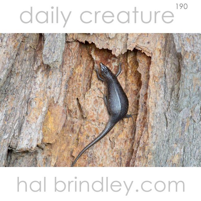 Karasburg Tree Skink (Trachylepis sparsa) Kgalagadi Transfrontier Park, Kalahari Desert, South Africa