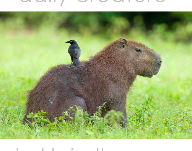 Capybara (Hydrochoerus hydrochaeris) with bird on back. Pantanal, Brazil