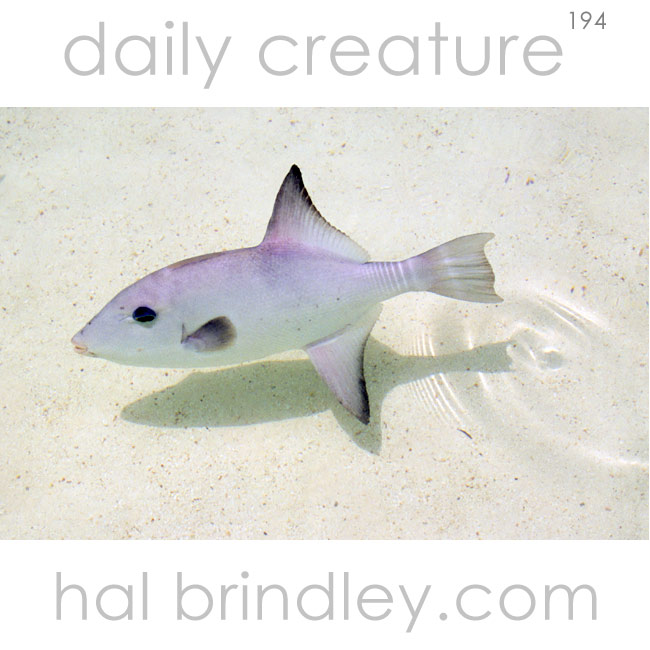 Ocean Triggerfish (Canthidermis sufflamen) Isla Contoy, Quintana Roo, Mexico