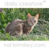 African Wildcat (Felis silvestris lybica) Paternoster, South Africa.