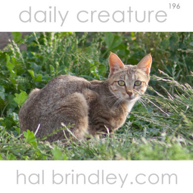 African Wildcat (Felis silvestris lybica) Paternoster, South Africa.