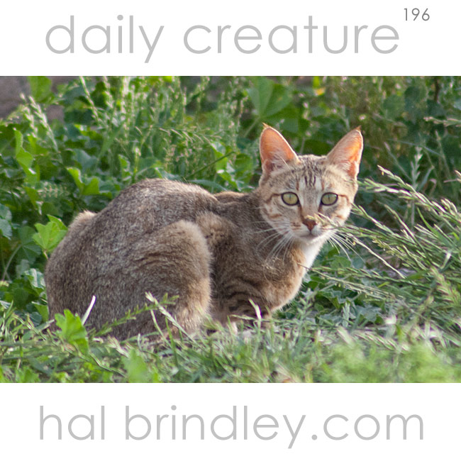 Daily Creature 196 African Wildcat Hal Brindley