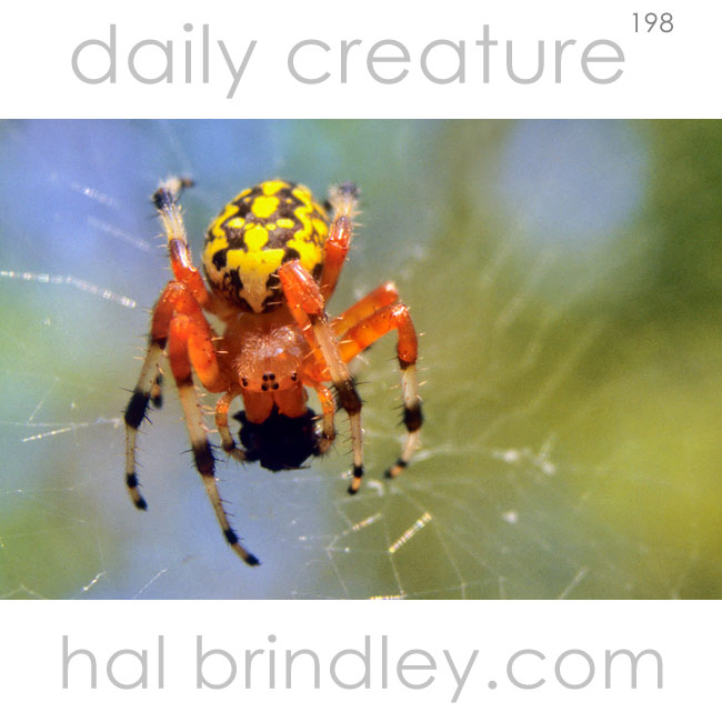 Marbled Orb Weaver (Aneus marmoreus) on web with captured fly. Chapel Hill, NC, USA