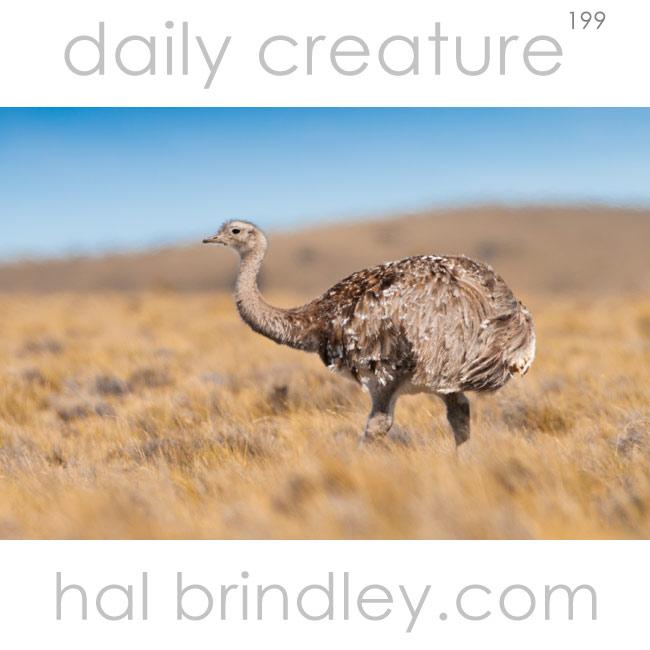 Darwin's (Lesser) Rhea (Rhea pennata) Southern Patagonia, Chile
