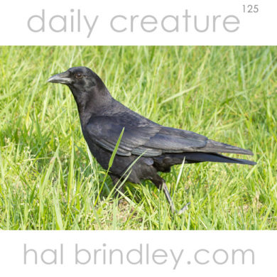 American Crow (Corvus brachyrhynchos) photographed in Cades Cove, Great Smoky Mountains National Park, Tennessee, USA.