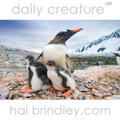 Gentoo Penguin (Pygoscelis papua) mother with chicks on nest. Pleneau Island, Antarctic Peninsula, Antarctica