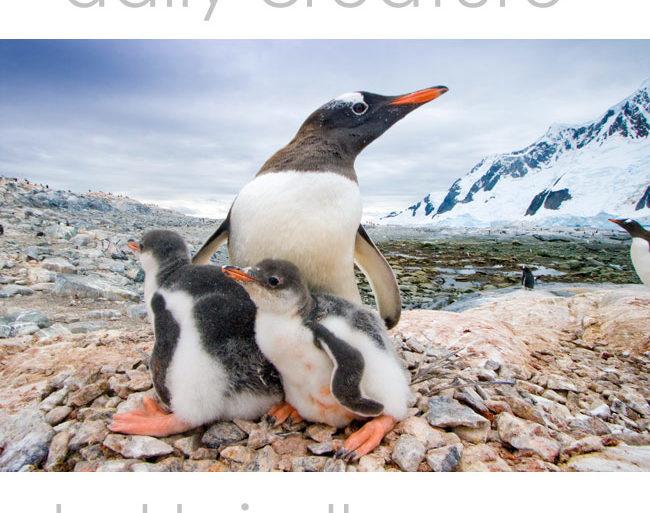 Gentoo Penguin (Pygoscelis papua) mother with chicks on nest. Pleneau Island, Antarctic Peninsula, Antarctica