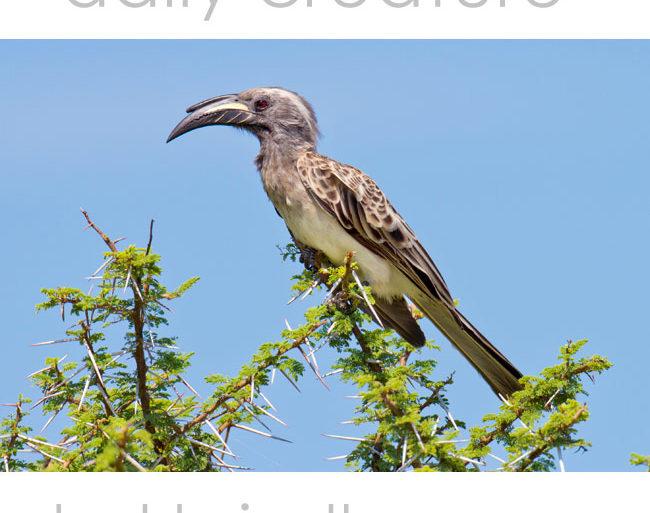 African Grey Hornbill (Tockus nasutus) Etosha National Park, Namibia