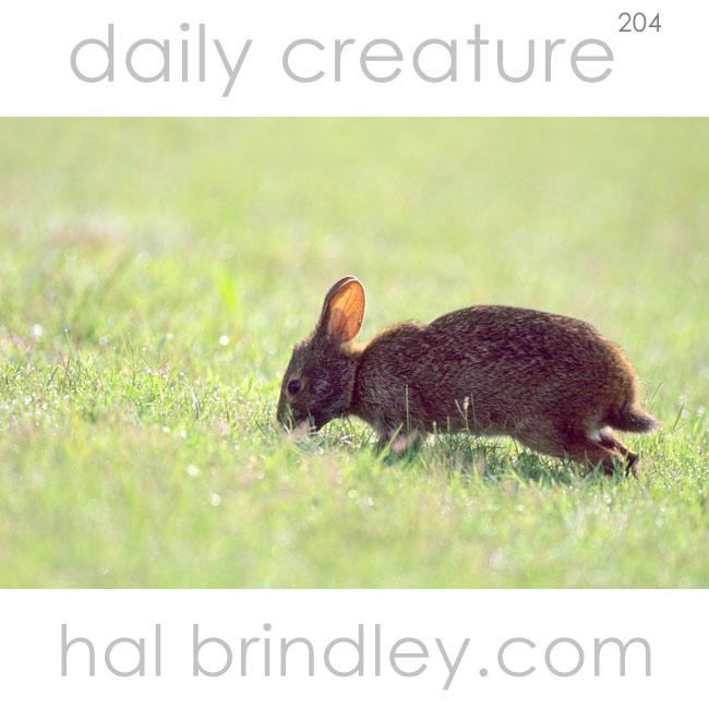 Daily Creature 204 Marsh Rabbit Hal Brindley Wildlife