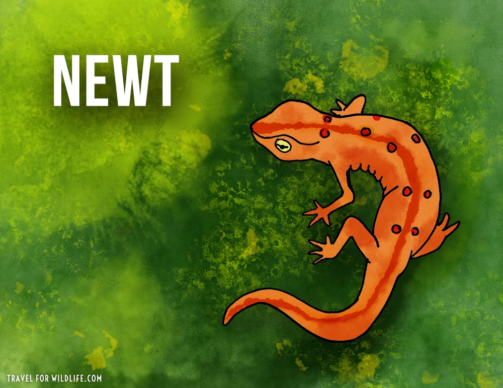 Newt: animals that start with the letter n