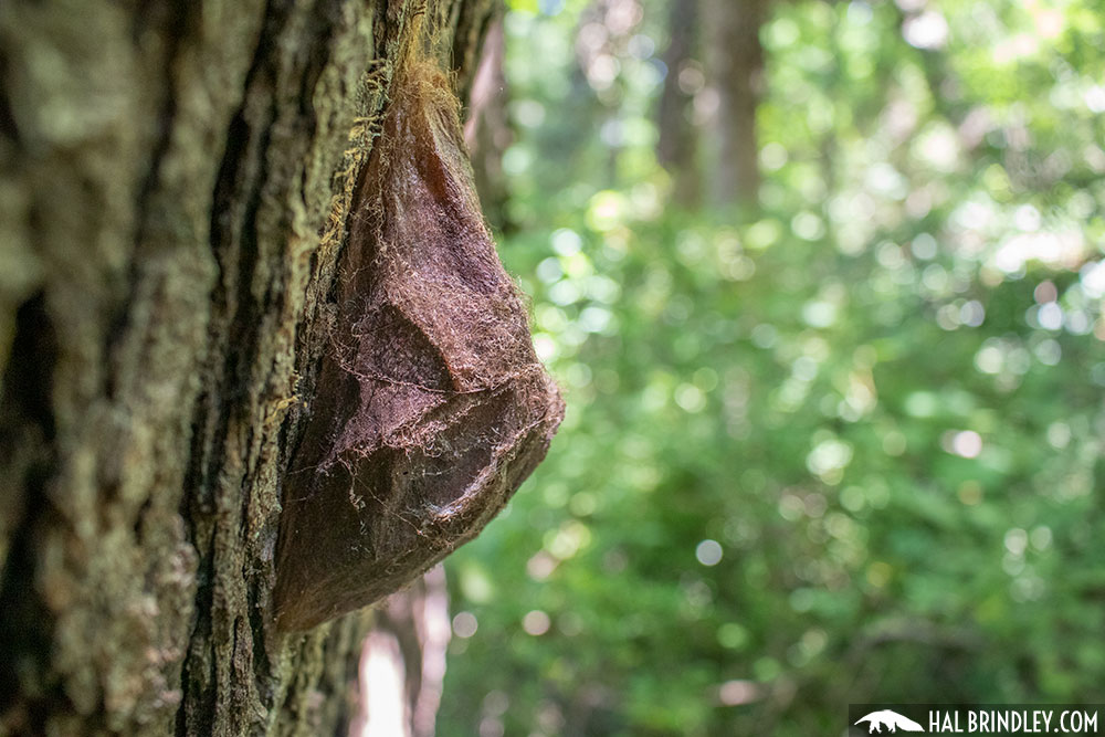 Cecropia moth cocoon on a cherry tree