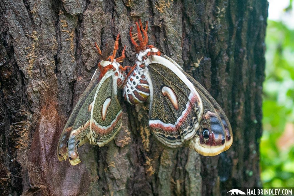cecropia moth mating