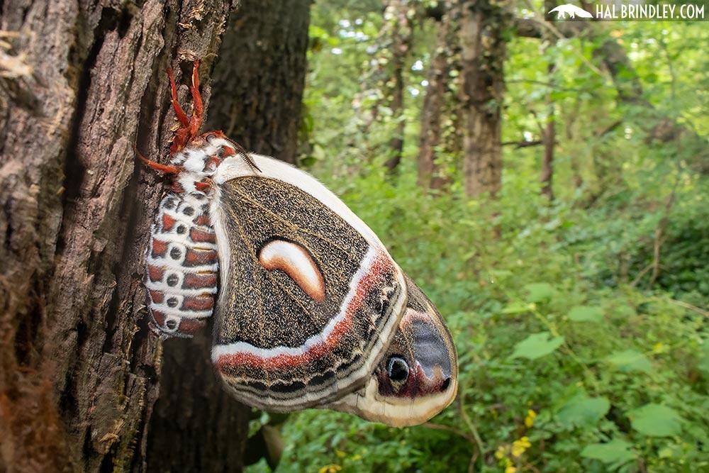 cecropia moth pheromones