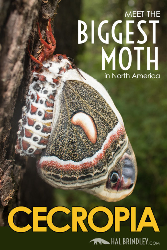 Cecropia Moth: the day I met the largest moth in North America! This giant moth emerged from a cocoon in my yard and mated the very next day!  Read all about this amazing encounter.