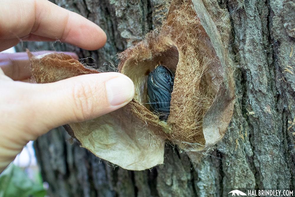 Cecropia moth pupa in cocoon