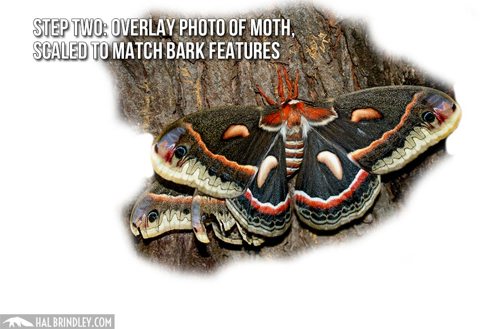 how to measure a large moth