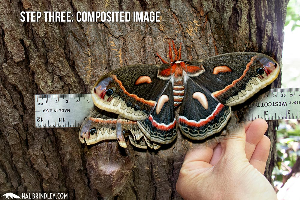 big moth, how to measure