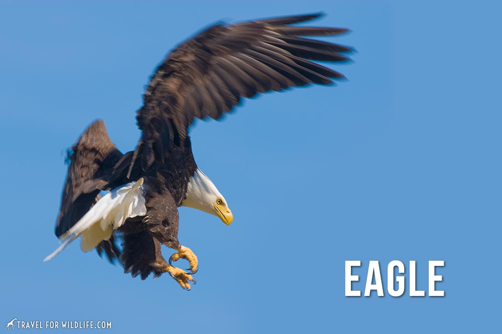 Animals That start with e: eagle