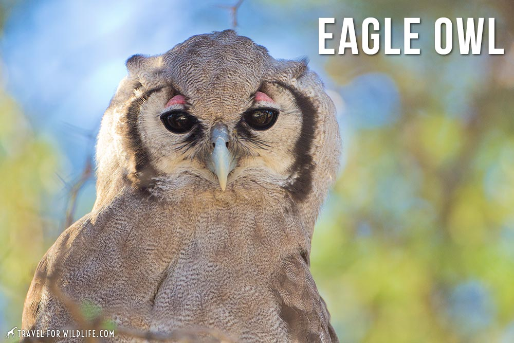 eagle owl: animals beginning with e