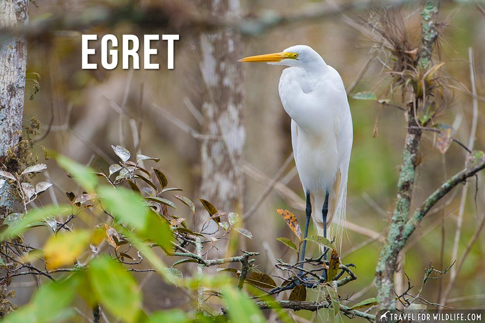 egret: animals that start with an E