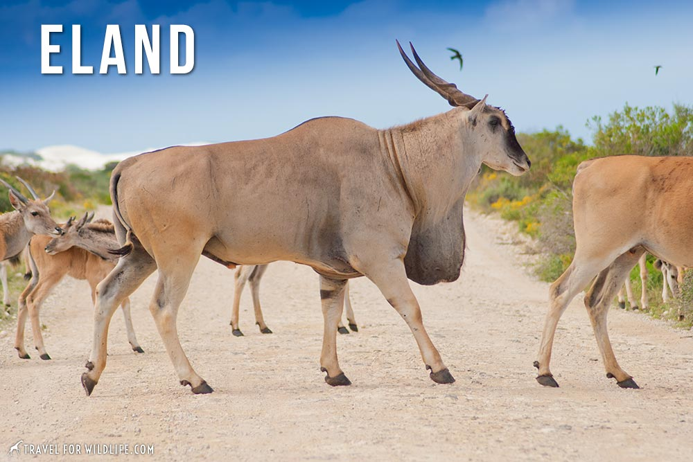 animals starting with e: eland