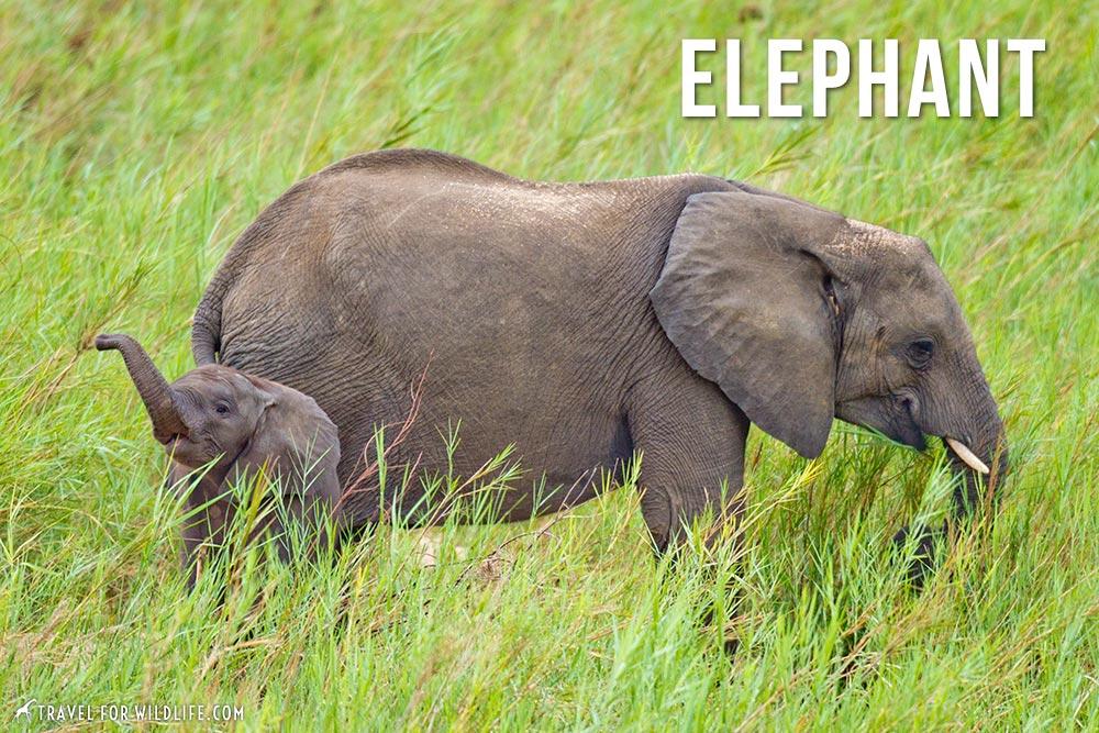 animals beginning with e, elephant