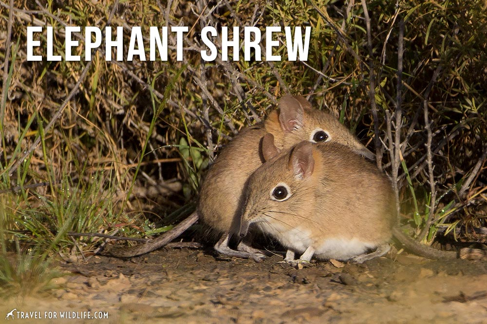 elephant shrew, awesome animal that starts with e