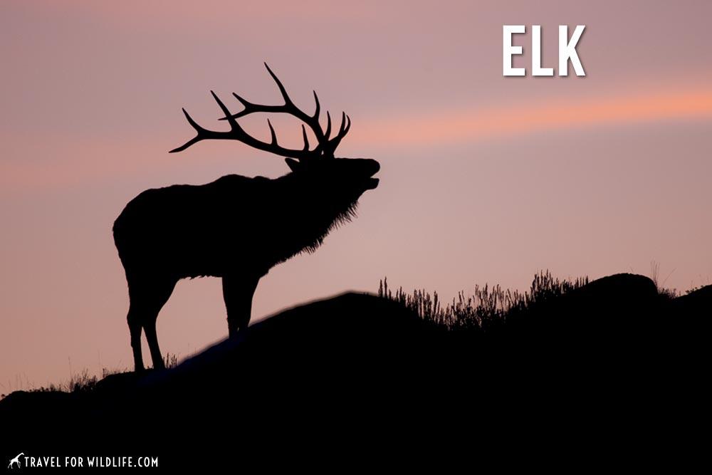 letter E animals, elk