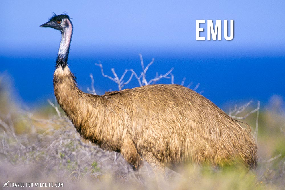 animals that start with e, Emu