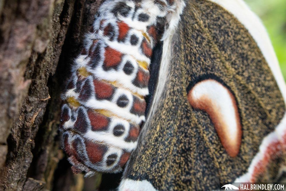 female cecropia moth abdomen
