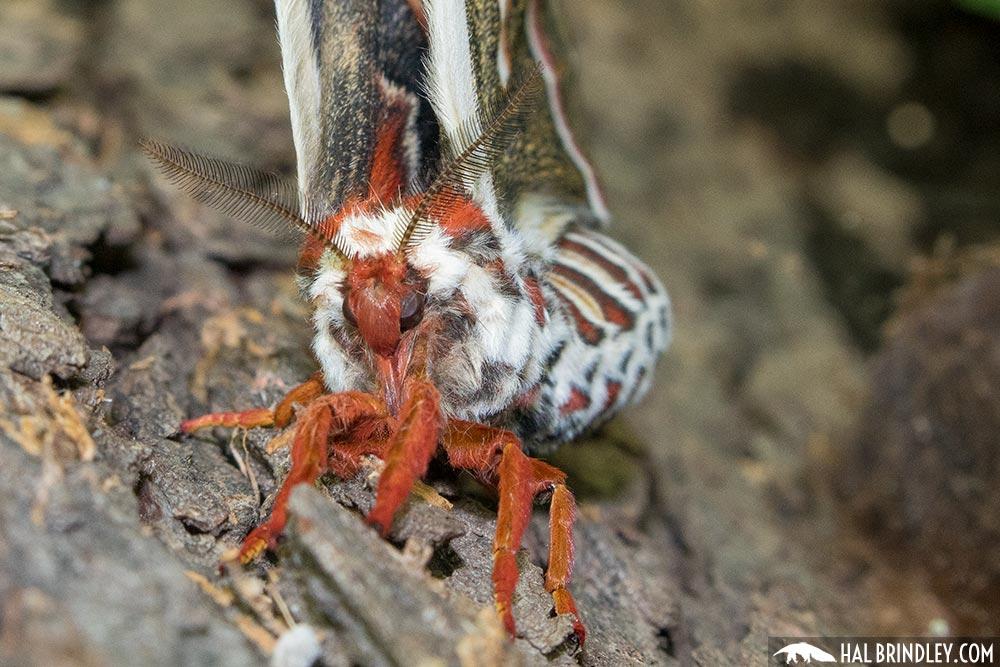 female cecropia moth antennae