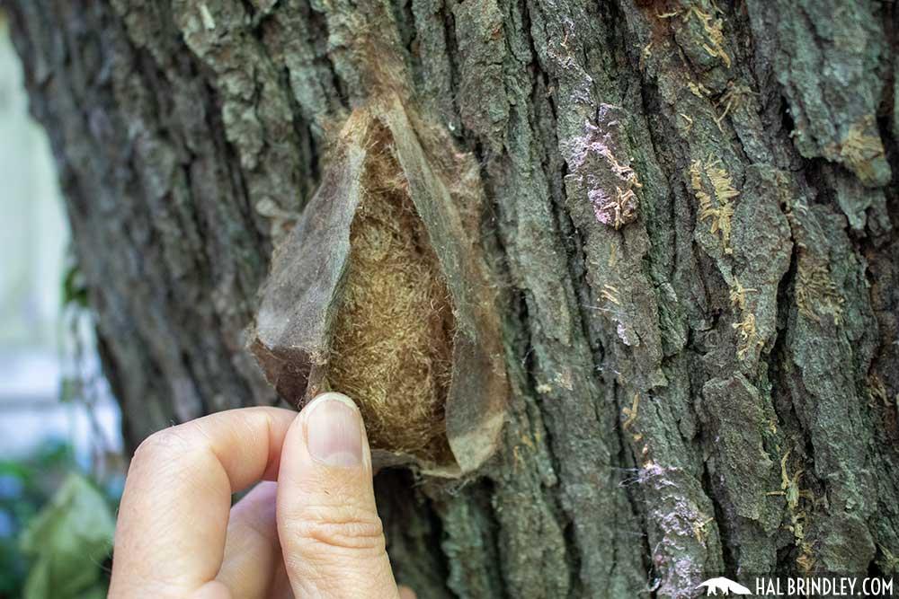 Hyalophora cecropia cocoon