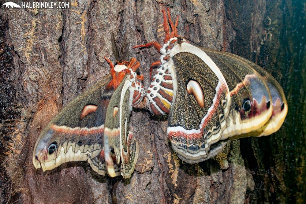 Cecropia moth female and cecropia male