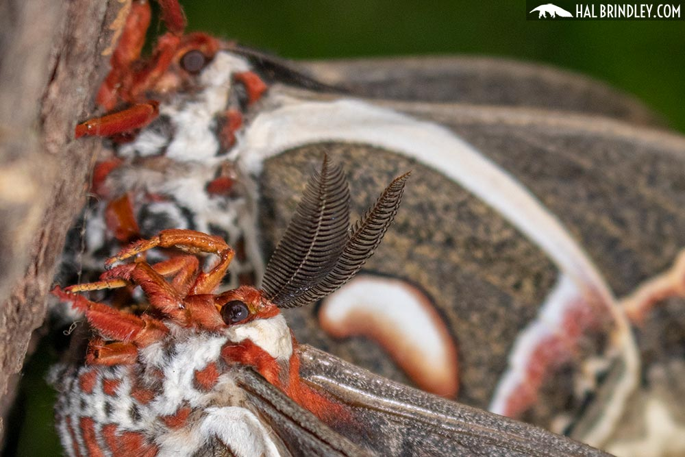 male cecropia moth antenna